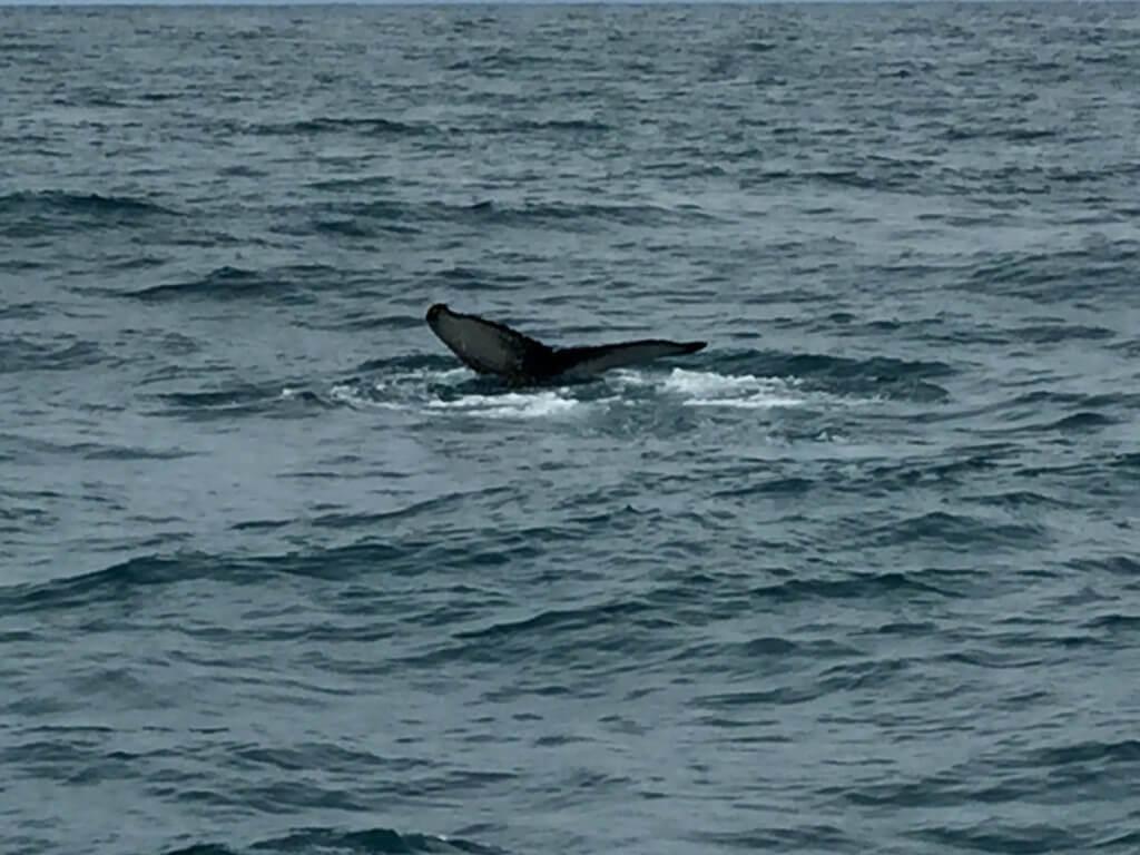 velryba filip