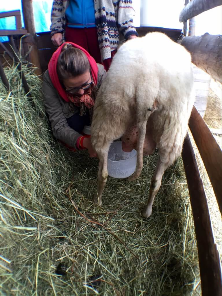 ovce dojeni_II